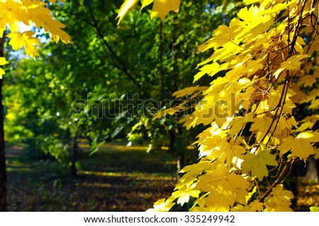 Maple branches with yellow leaves in the foreground illuminated by bright autumn sun backlit. Selective focus and blurred background of green trees.