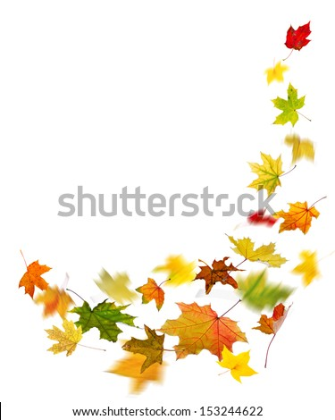 Maple colored autumn falling leaves, isolated on white background. - stock photo