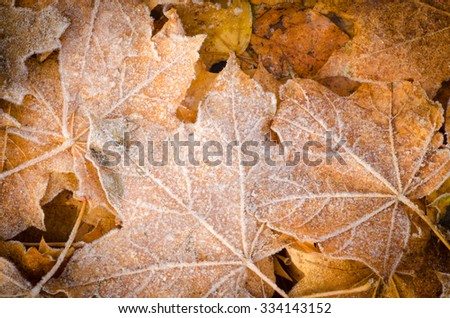 maple fall leaves under hoarfrost