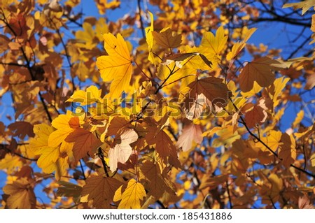 Maple foliage in autumn colors