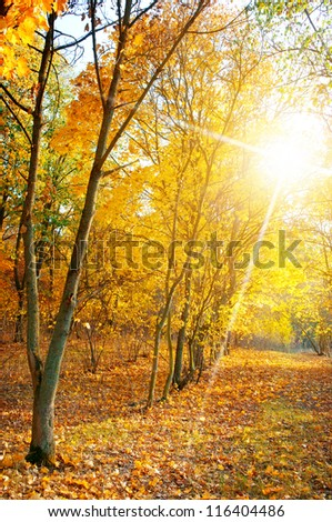 maple forest in autumn - stock photo