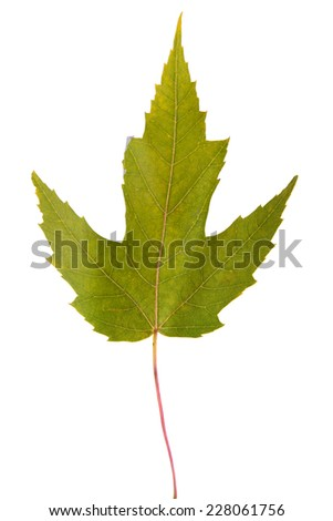 maple green leaf. Isolated on white background - stock photo