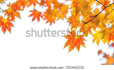 Maple leaf in autumn in korea.