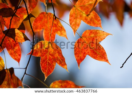 Maple leaf in chiangmai thailand