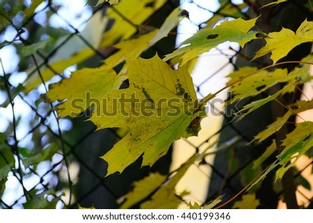 maple leaf in the park - stock photo