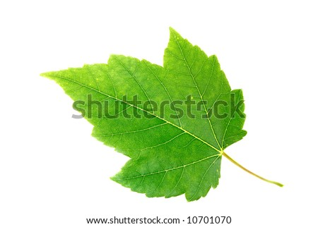 Maple leaf isolated against a white background. Clipping path.