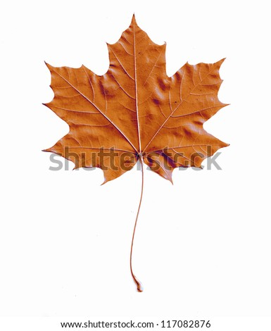 maple leaf isolated background - stock photo