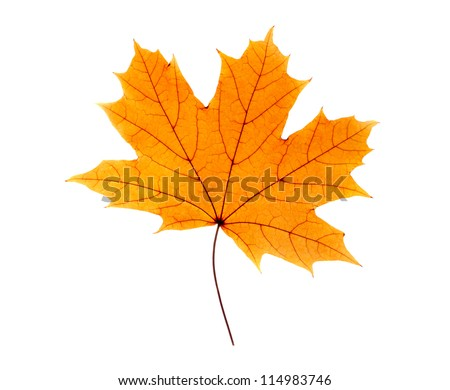 Maple leaf isolated on white - stock photo