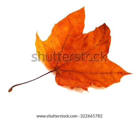 Maple leaf isolated on white background - stock photo
