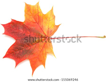 maple leaf isolated on white surface