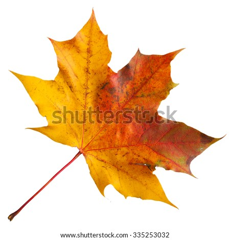 Maple leaf on a white background - stock photo