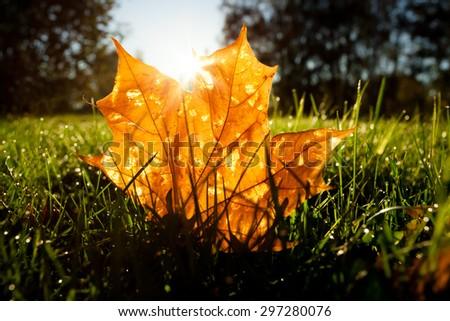 Maple leaf on grass illuminated by sunrise light - stock photo