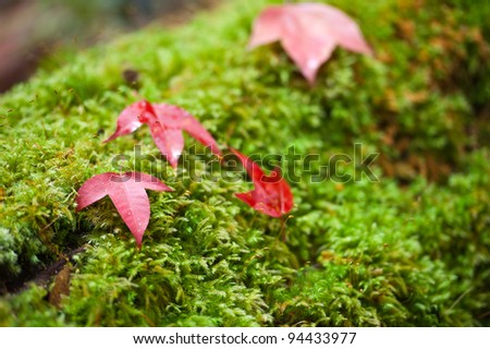 maple leaf on moss at Phukradueng national park Loei province Thailand