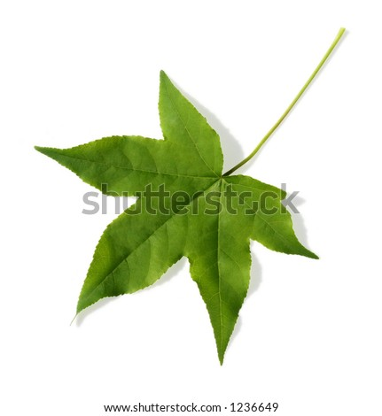 Maple leaf on white background.  This image includes a hand drawn clipping path for maximum flexibility. - stock photo