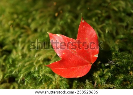 Maple Leaf, Phu Kha Dueng National Park in Loei, Thailand
