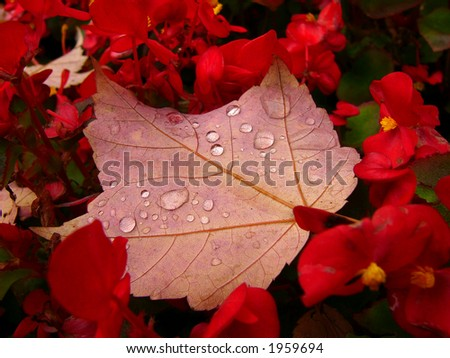 Maple leaf with rain drops