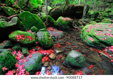 Maple leafs are fallen in Phu Kradueng National Park - stock photo