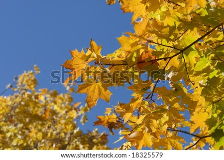 Maple leafs in october park on blue sky - stock photo
