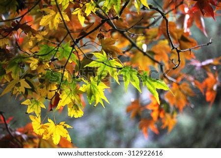 Maple leave changing color in fall - stock photo