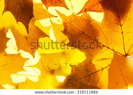 maple leaves - background - stock photo