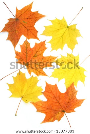 Maple leaves circle isolated on white background