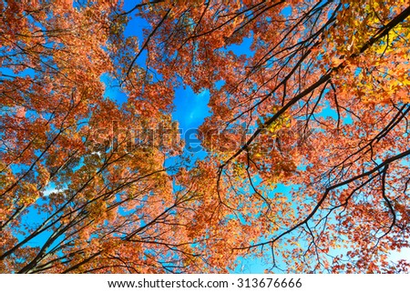 Maple leaves in autumn colors with clear sky background  - stock photo