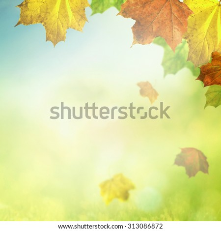 Maple leaves in light of autumn  - stock photo