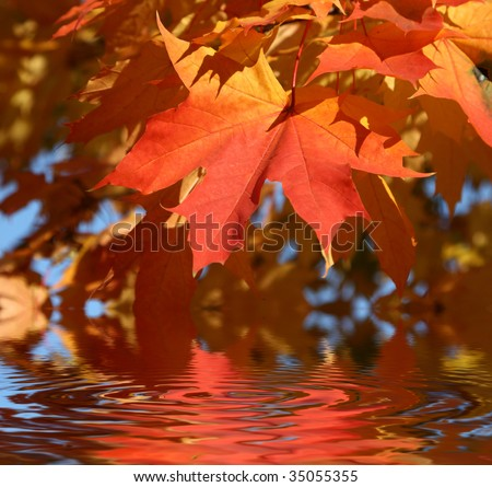 Maple leaves in the autumn - stock photo