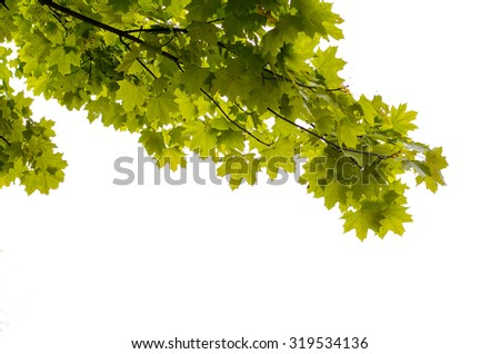 Maple leaves isolated on a white background