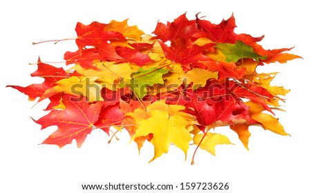 Maple leaves isolated on white background. Colored autumn leafs. Fall - stock photo
