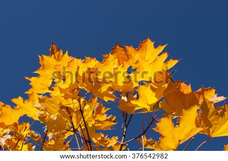 Maple leaves on a background of blue sky. Autumn maple leaves. - stock photo