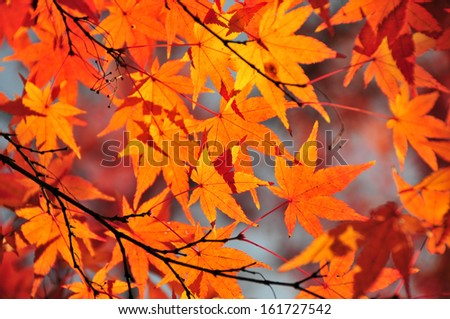 Maple leaves on a branch of a tree. - stock photo