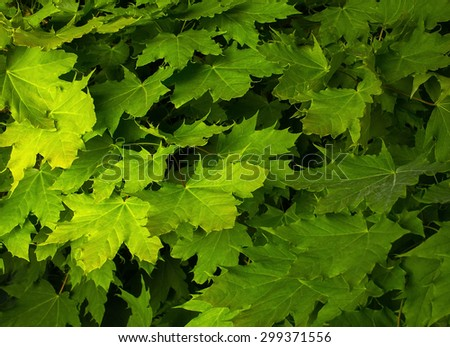 Maple leaves on a lush green background - stock photo