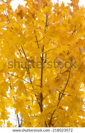 maple leaves on a tree - stock photo