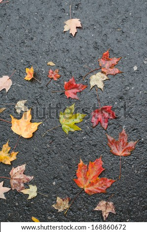 Maple leaves on wet road after rainstorm
