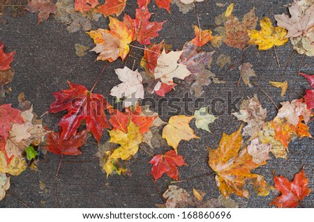 Maple leaves on wet road after rainstorm - stock photo