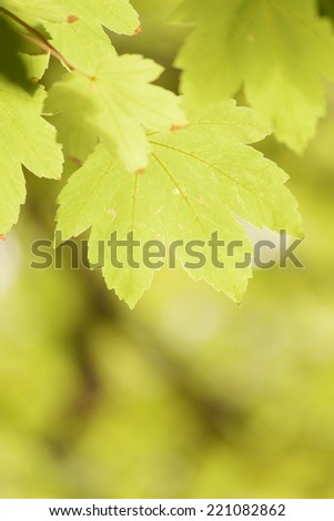 Maple leaves with natural background. autumn leaves in a National Park, Caravaca de La Cruz, Murcia - stock photo