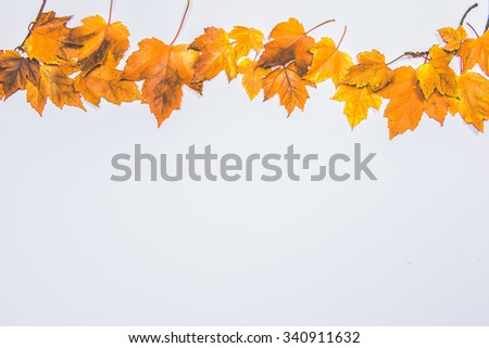maple on white area,colorful maple leave on the ground,lawn for background in the park,autumn season
