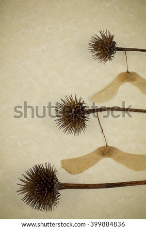 Maple seeds hanging form dried bristle seed pods to form whimsical pattern