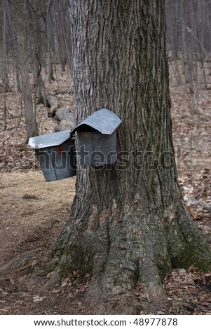 Maple Sugar buckets hanging on a maple tree - stock photo