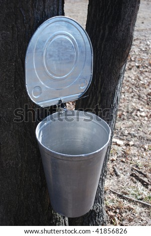 Maple syrup collecting - stock photo