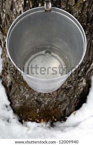 Maple syrup production. Bucket on a tree filled with maple sap. - stock photo