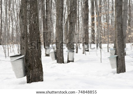 how to get maple syrup from a maple tree
