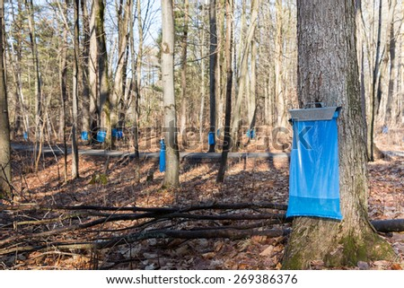Maple Syrup Tapping - Tapping maple trees in the Spring to make maple syrup.  Blue collection bags collecting natural food using a traditional process. - stock photo