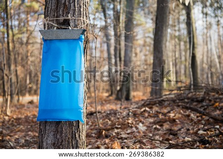 Maple Syrup Tapping - Tapping maple trees in the Spring to make maple syrup.  Early morning light and selective focus on the blue collection bag in the foreground. - stock photo