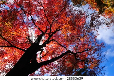 maple tree - stock photo