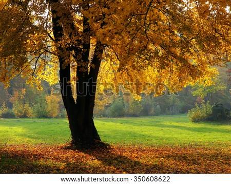 Maple tree - stock photo