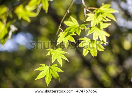 maple tree and sunlight