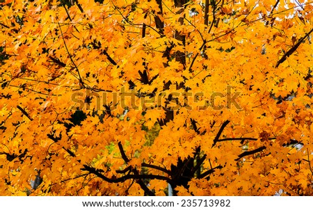 Maple Tree Dazzles in Autumn - stock photo