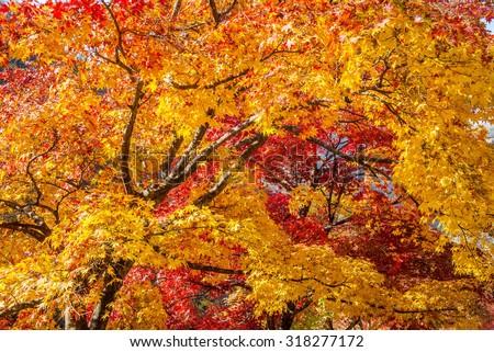 Maple tree in autumn in korea. - stock photo